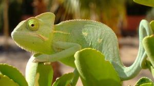 can-chameleons-eat-fruits_4041572baa9e1d40